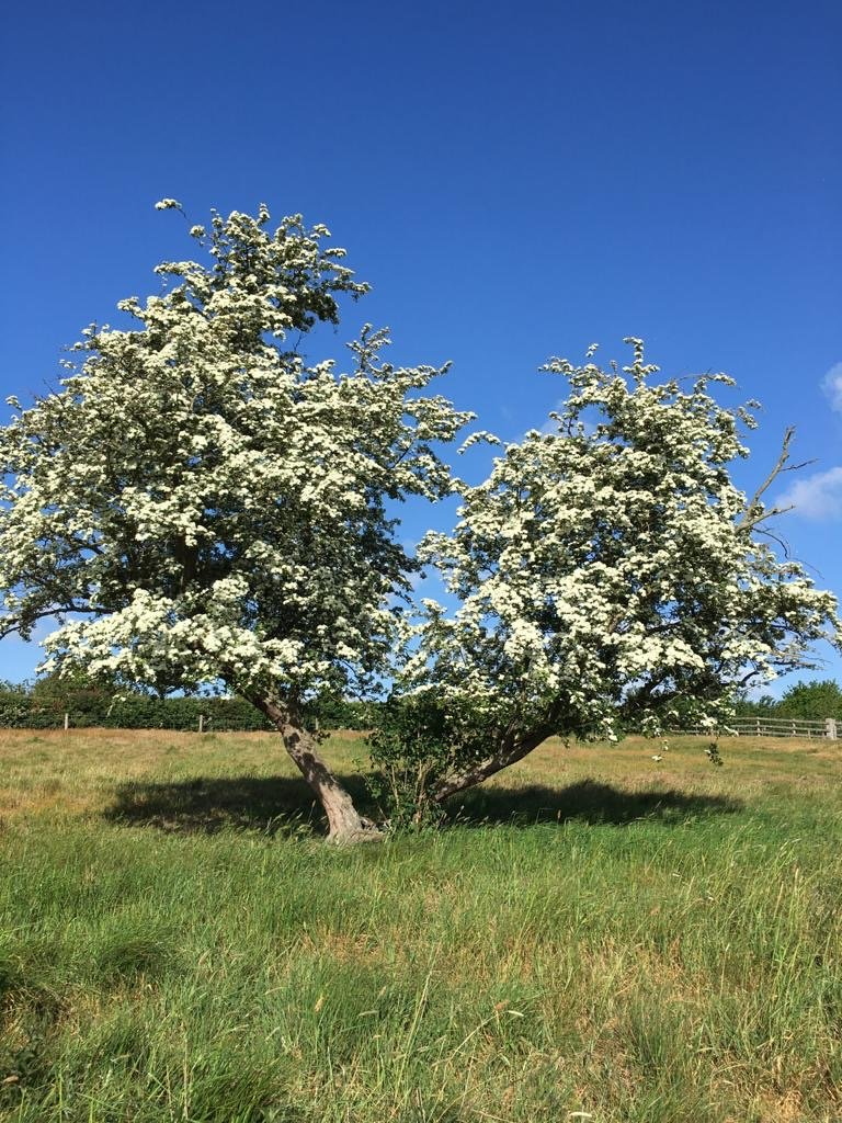 Hawthorn with white blossom